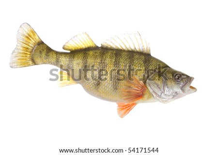 beautiful yellow perch isolated on white background - stock photo