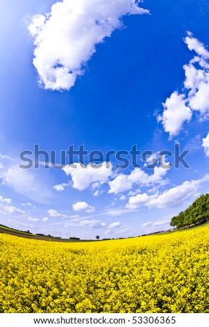 beautiful yellow rapeseed field in spring - stock photo