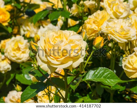 Beautiful yellow rose in a garden on sunny day - stock photo