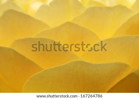 Beautiful yellow rose in full bloom closeup - stock photo