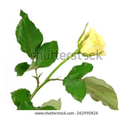 beautiful yellow rose isolated on white background - stock photo
