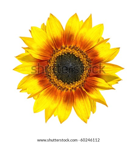 Beautiful Yellow Sunflower Fresh Petals Closeup Isolated on White Background - stock photo