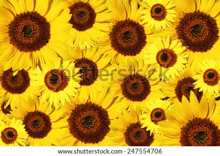 beautiful yellow Sunflower petals closeup some with honeybees - stock photo