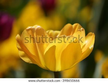 Beautiful yellow tulip, bright sunny scene with backlight - stock photo