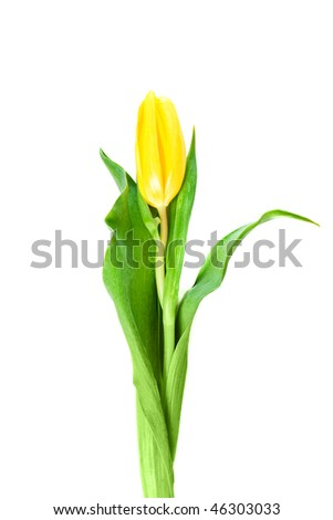 beautiful yellow tulip on an isolated background