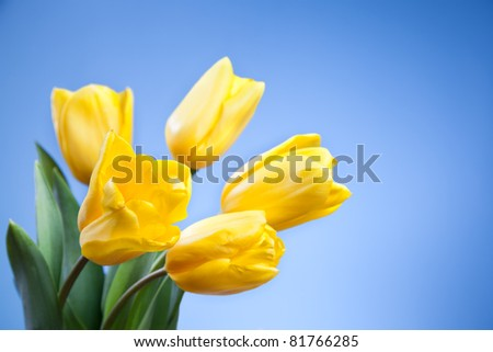 Beautiful yellow tulips on a blue background - stock photo