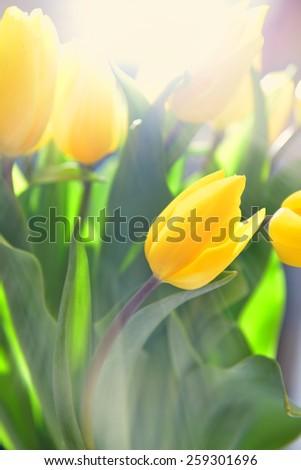 Beautiful yellow tulips on bokeh background  - stock photo