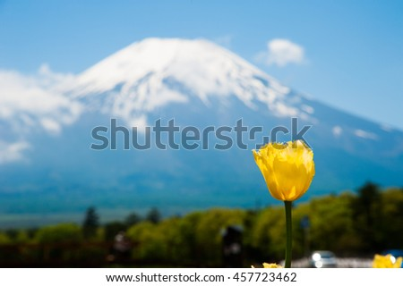 Beautiful yellow tulips with blurred Mountain Fuji san as the background in Spring, Japan.