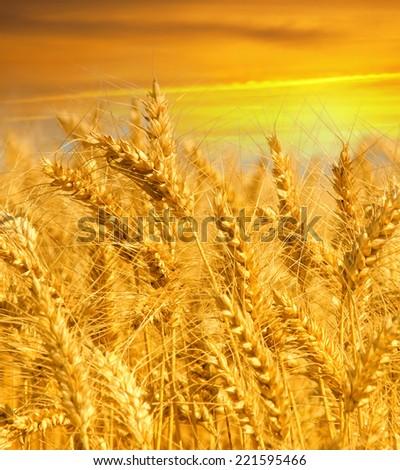 Beautiful yellow wheat field  - stock photo