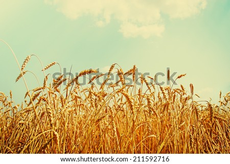 Beautiful yellow wheat field in vintage style, autumnal nature, countryside, crop cultivation, dry rye stems, harvest season, healthy nutrition concept - stock photo