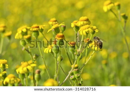 beautiful yellow wild flowers in their natural surroundings with a bee collecting pollen - stock photo