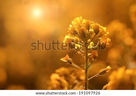 Beautiful yellow wildflower at sunset - stock photo