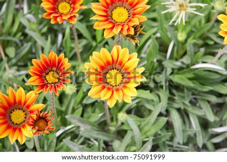 Beautiful yellow with brown dark zone in Gazania flowers