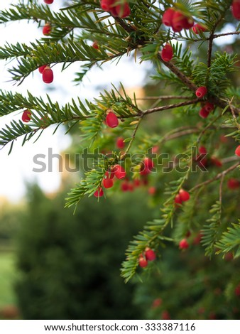 Beautiful yew tree twig with bright red berries - stock photo