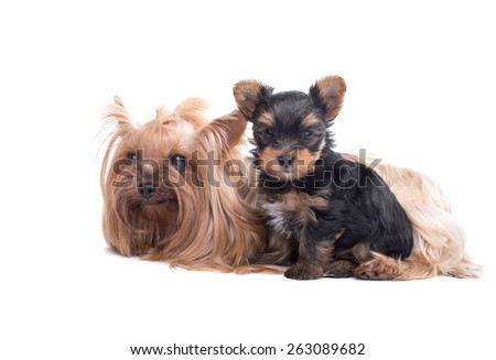 Beautiful Yorkshire terrier lying with her puppy. Animal portrait. Isolated - stock photo