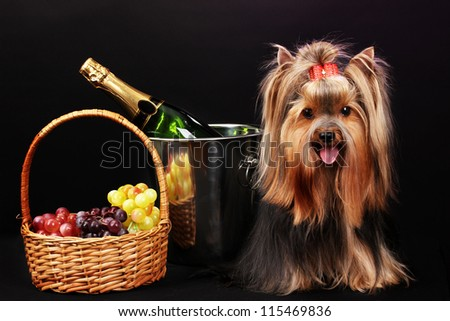 Beautiful yorkshire terrier on colorful background - stock photo