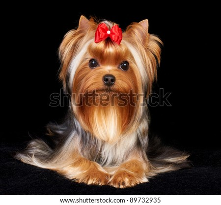 Beautiful Yorkshire Terrier on the black background - stock photo