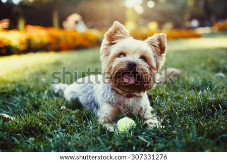 Beautiful yorkshire terrier playing with a ball on a grass - stock photo