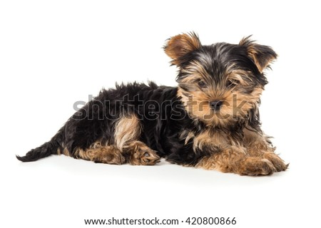 Beautiful Yorkshire terrier puppy isolated - stock photo