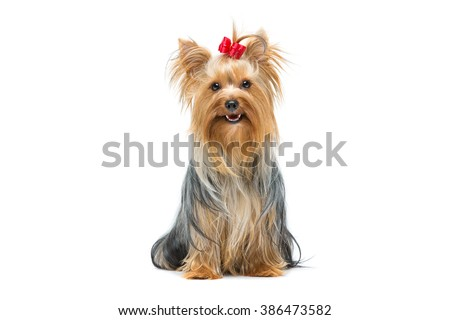 Beautiful yorkshire terrier sitting - stock photo