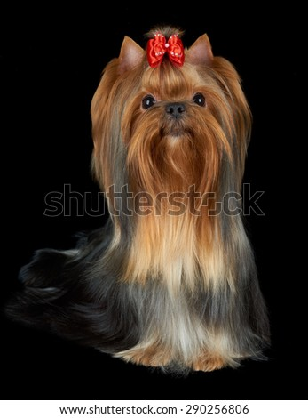 Beautiful Yorkshire Terrier with long golden hair and red bow sits on black background and looks up                                - stock photo