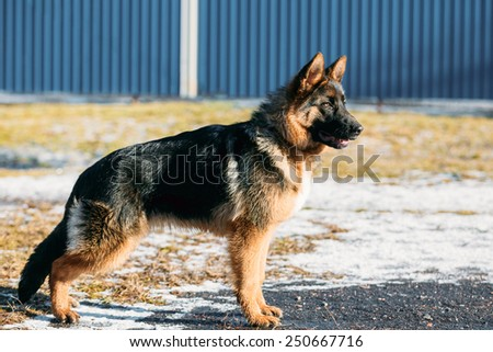 Beautiful Young Brown German Shepherd Puppy Dog Staying Outdoor In Spring - stock photo