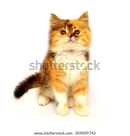 Beautiful young colorful kitten sneaks. Playful kitten isolated on white background - stock photo