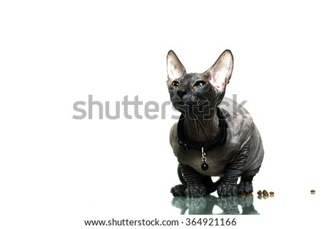 Beautiful young don sphynx kitten sitting attentively waiting, white background and mirror reflection, naked cat - stock photo