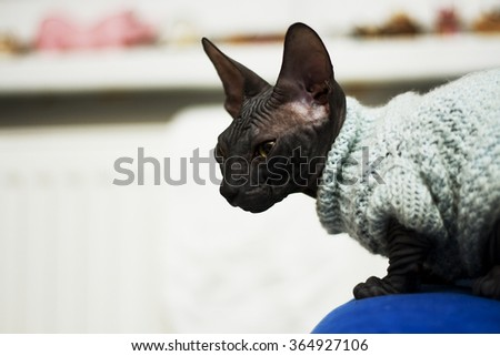 Beautiful young don sphynx kitten sitting on the arm of the couch in the living room and waits for its prey, naked cat - stock photo