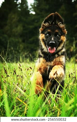 beautiful young fun german shepherd puppy running in nature - stock photo