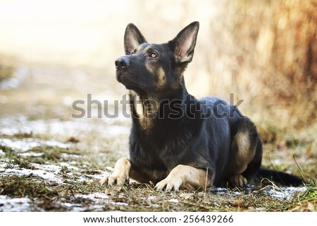 beautiful young german shepherd dog puppy in spring background - stock photo