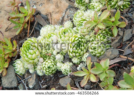 beautiful young plant Sempervivum globiferum in Siberia