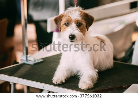 Beautiful Young Rough Coated Jack Russell Terrier Dog. Small terrier