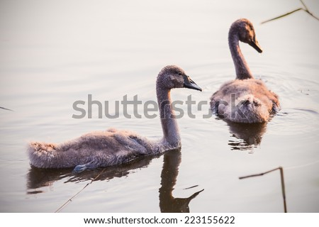Beautiful young swans floating on the water surface - stock photo
