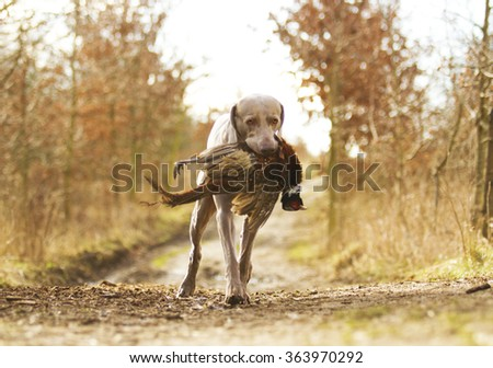 beautiful young weimaraner dog or puppy hold pheasant,hunting - stock photo