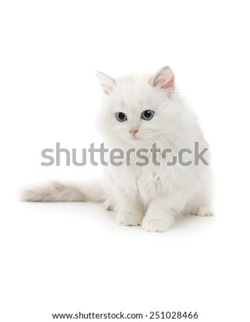 Beautiful Young White Cat Isolated on White - stock photo