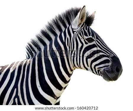 Beautiful Zebra portrait with black and white stripes - isolated  - stock photo
