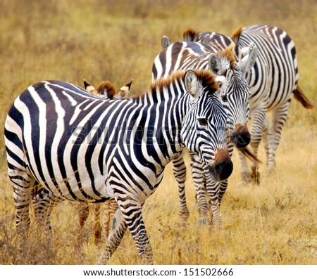 beautiful zebra's in Africa - stock photo