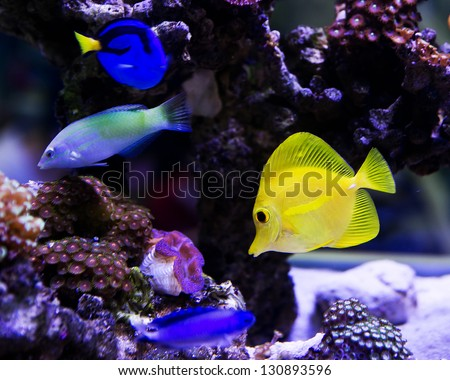 Beautiful zebrasoma salt water aquarium fish - stock photo