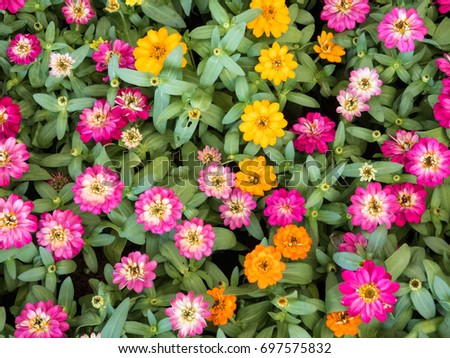 Beautiful Zinnia,flower
