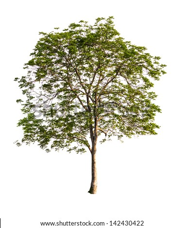 Beautifull green tree isolated on a white background