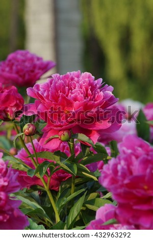 Beautifully blooming pink peonies (Paeonia) in a public botanical garden - soft focus - stock photo