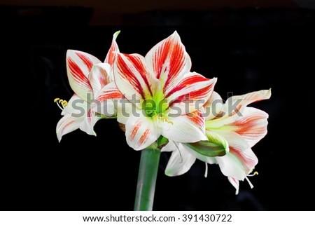 Beautifully blown flower of Amaryllis on black background - stock photo