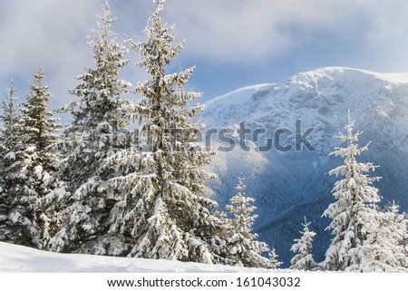 Beautifully covered with snow pine trees on a crystal clear winter day with blue sky in the mountains - stock photo