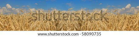 beautifully wheat landscape, blue sky in background - stock photo