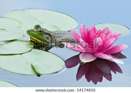 Beauty and the Beast, aka bullfrog lurking by a pink waterlily. - stock photo