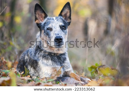 Beauty Australian cattle dog lying amongst autumn leaves