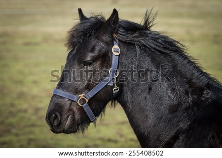 Beauty foal - friesian horse stallion - stock photo