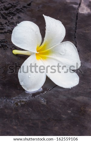beauty frangipani white yellow  flower background