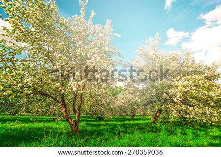 Beauty fresh blooming of decorative white apple, fruit young peach trees over bright blue sky in color vivid spring park full of leaf, pink flowers, green grass in dawn early light with first sun rays - stock photo